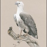 Australian Sea Eagle